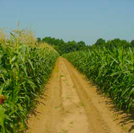 road between corn