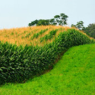 rolling hill of corn