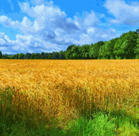 colorful wheat field