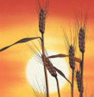wheat with sunrise